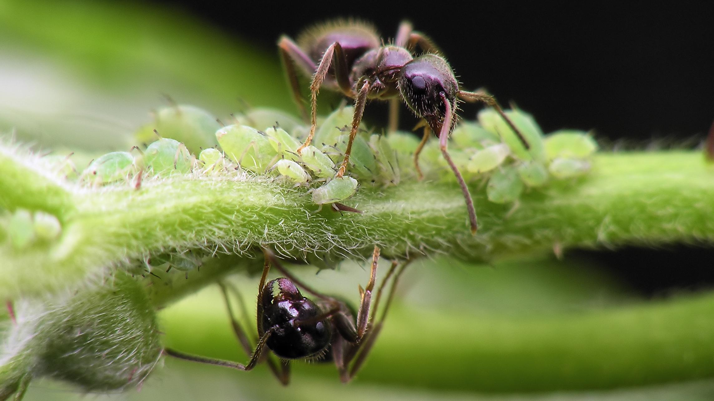 Hvorfor krever maur systematisk tilnærming?